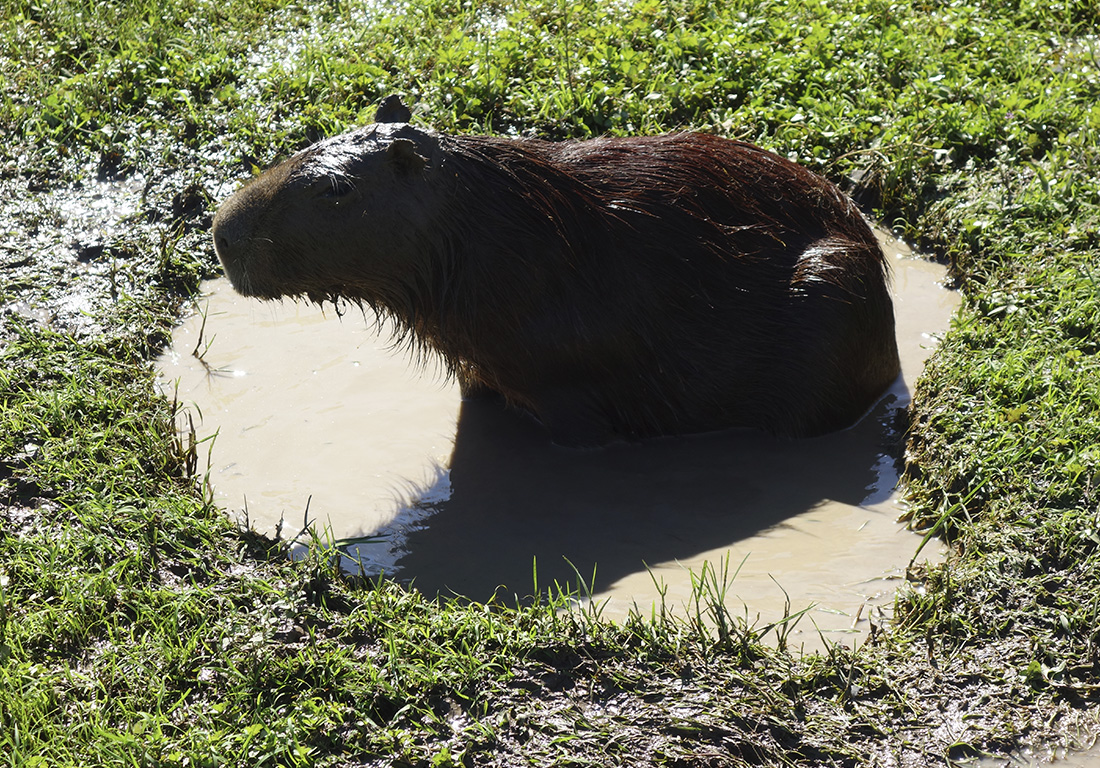 capibara-esteros-ibera-argentina
