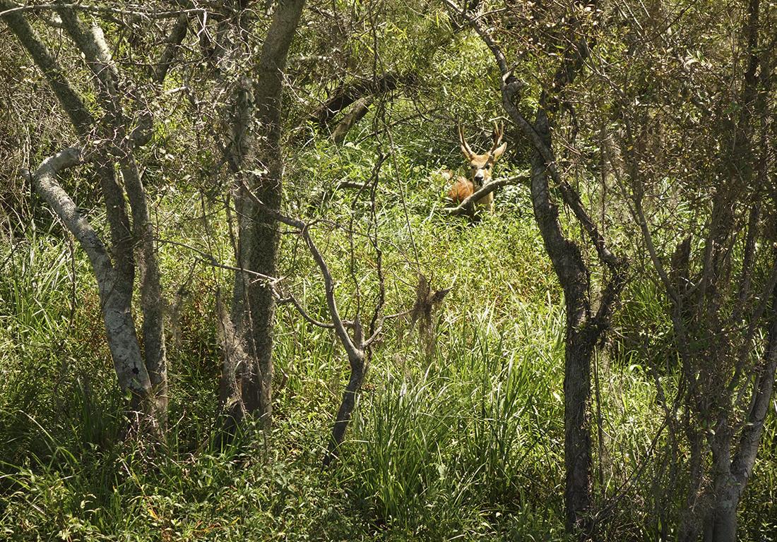 ciervos-del-pantano-argentina