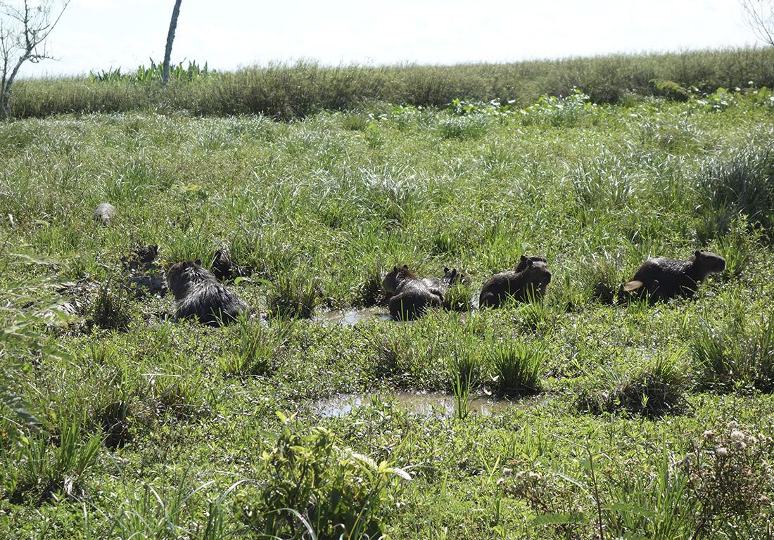 capibara-family-argentina