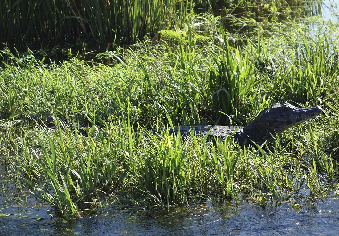 caimans-argentina