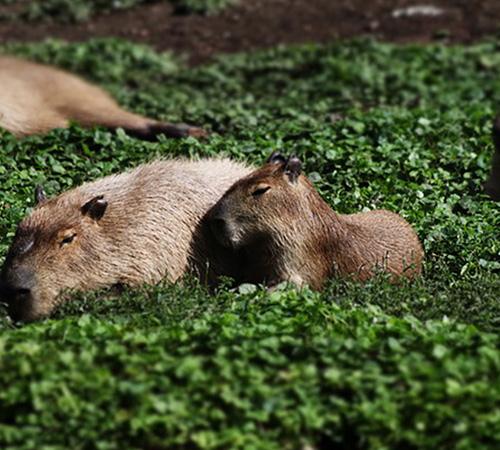 capibara-animaux-argentine