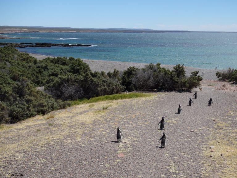 marche des pingouins à punta tombo