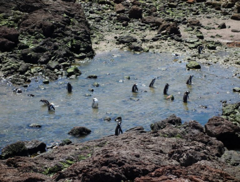 punta tombo penguins