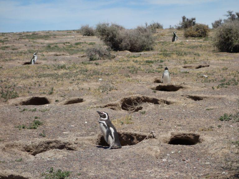pinguinera punta tombo