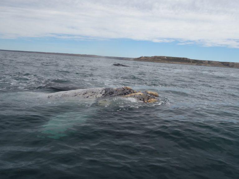 baleine australe argentine