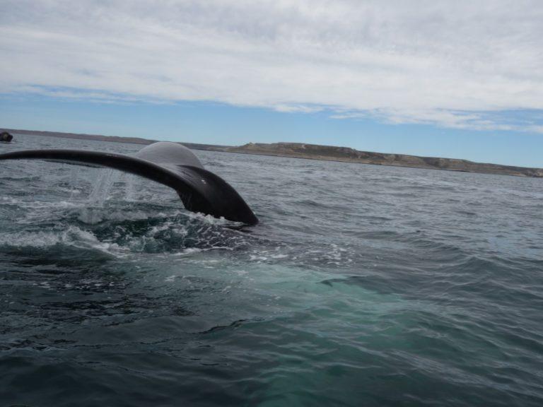ballena austral