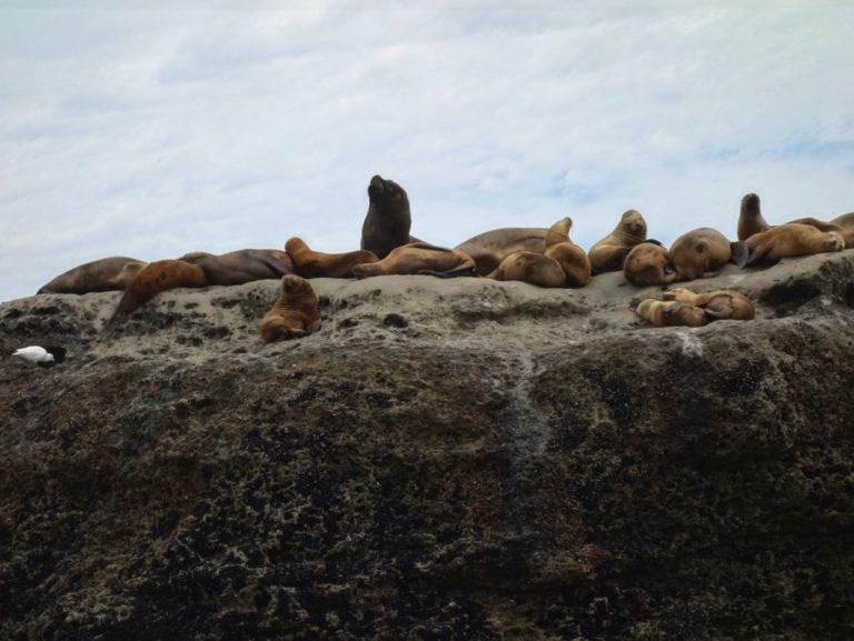 lion de mer a criniere