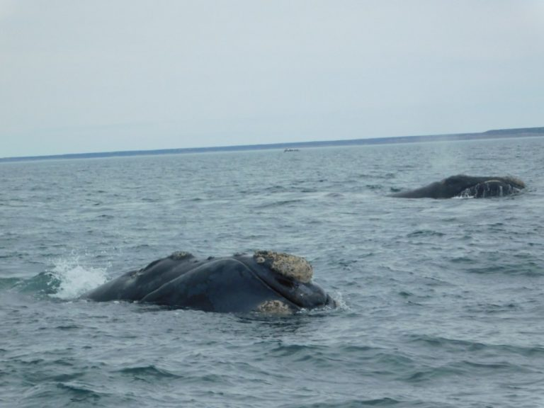 sea whales watching puerto piramides