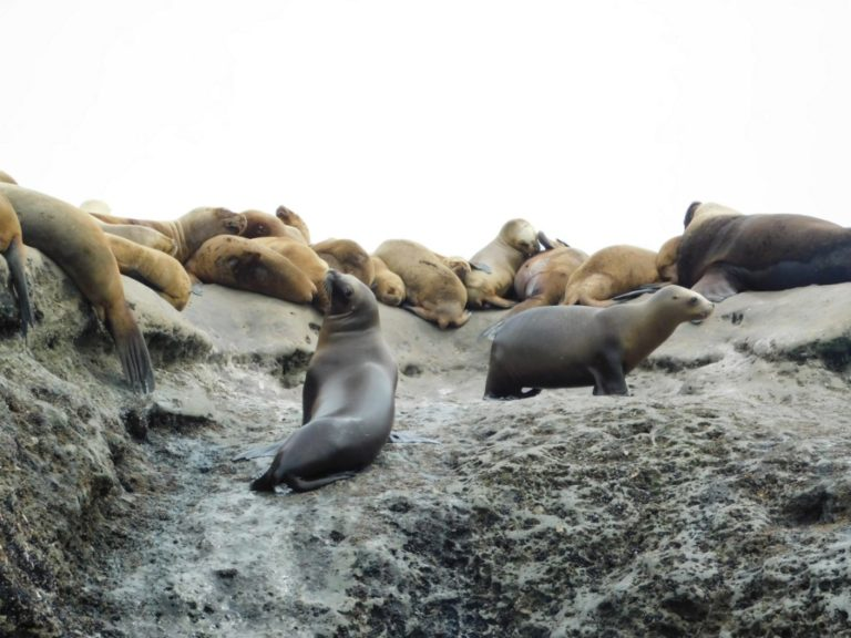 settlement of sea lions