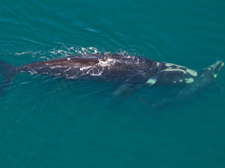 baleine australe valdes
